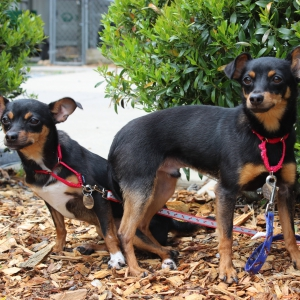 Buster and Scarlett, 2-year-old Chihuahua Mix, Rescued from a S.C. Shelter