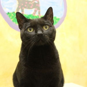 Marley, a 9-year-old Black Domestic Shorthair, Surrendered to ARF