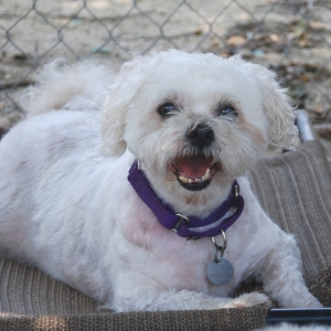 Marshmallow, a 10-year-old Bichon Frise/Shih Tzu Mix, Surrendered to ARF