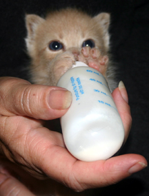 kitten bottle feeding web